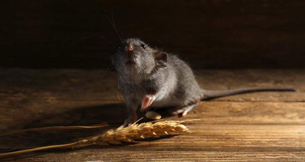 картинки вредная еда с крысами и мышами отличие